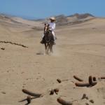 Die Paso Peruanos haben ihre Gangart der Wüste angepasst