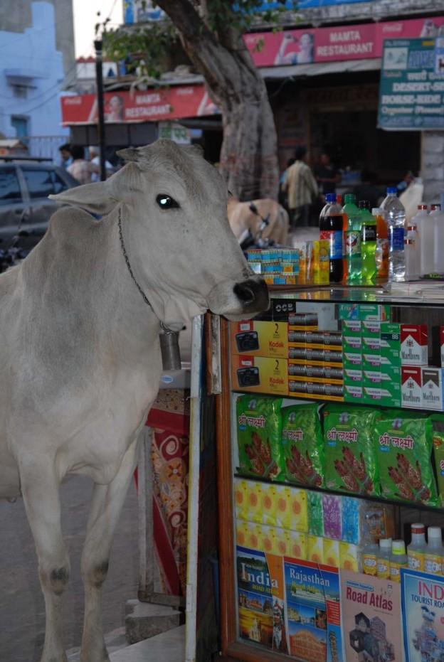 Kuh im Shop2