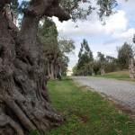 Uralte Olivenbäume säumen die Zufahrtsallee